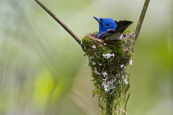 Black-naped Monarch (Hypothymis azurea).jpg