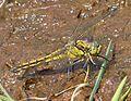 Black-tailed Skimmer. Orthetrum cancellatum. Mature Female - Flickr - gailhampshire.jpg