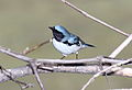 Black-throated Blue Warbler (Setophaga caerulescens) (15226313800).jpg