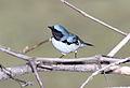 Black-throated Blue Warbler (Setophaga caerulescens) (15226313800).jpg