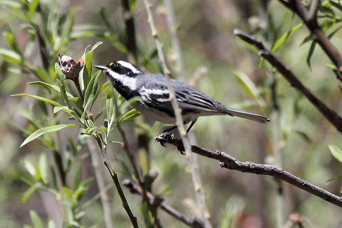 Black-throated gray warbler - Wikipedia