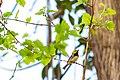 Black-throated green warbler (19157492764).jpg