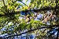 Black-throated green warbler (27763610780).jpg