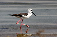 Black-winged Stilt Water.JPG