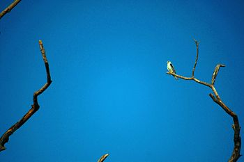 Black-winged kite @ Bandhavgarh National Park.jpg
