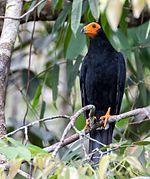 Black Caracara - Chupacacao Negro (Daptrius ater) (14909975447) (cropped).jpg
