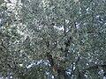 Black Poplar, Orto Botanico di Cascina Rosa (Milan).jpg