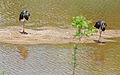 Black Storks (Ciconia nigra) (17126814079).jpg
