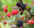 Black and red ripening blackberries.jpg