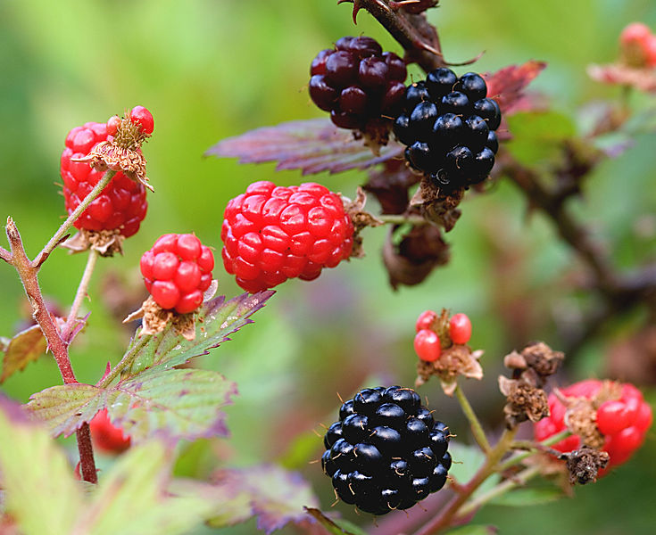 File:Black and red ripening blackberries.jpg