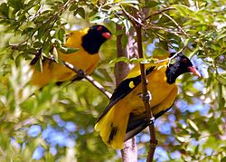 Black headed Oriole 2.JPG