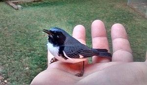 Black-throated blue warbler - Male during October migration in North Carolina