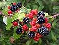Blackberries by Hanney Road - geograph.org.uk - 1469378.jpg