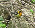 Blackburnian Warbler Setophaga fusca, Pheasant Branch, Middleton, WI 2.jpg