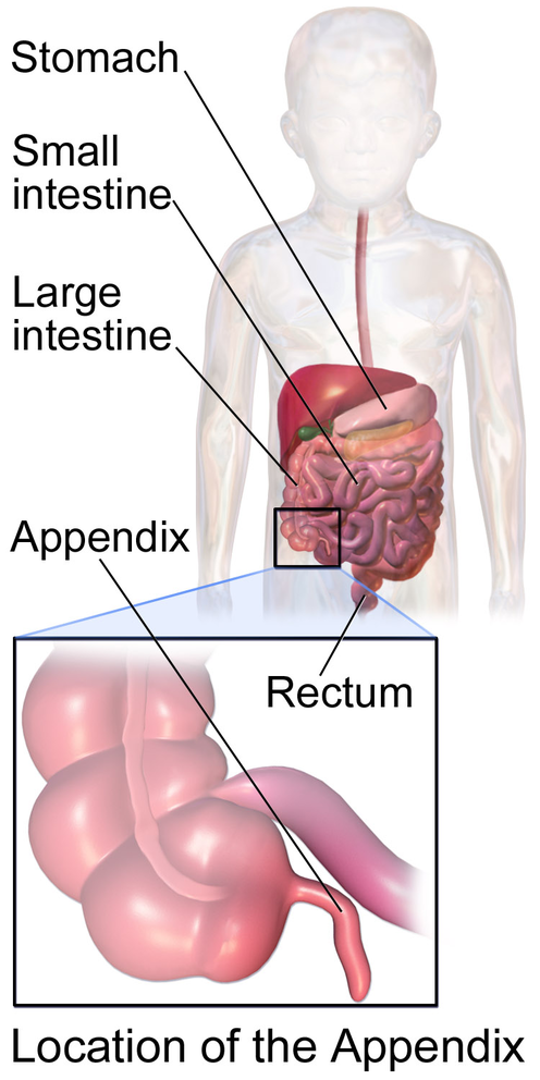 Appendix Anatomy Eanswers