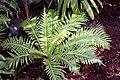 Blechnum gibbum 5zz.jpg
