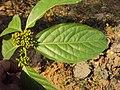Blepharistemma serratum at Periya (10).jpg