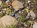 Blue Butterflies (9403846606).jpg