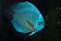 Blue Discus fish Symphysodon aequifasciatus.jpg