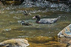 Blue Duck - New Zealand (38468659474).jpg