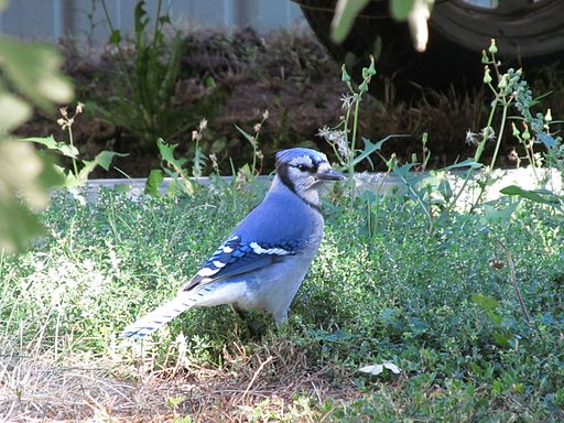 Blue Jay Searching for Acorns