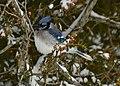 Blue Jay in winter on Drummond Island - 49390338188.jpg