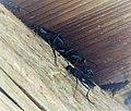 Blue Mud Wasp. Chalybion californicum. Sceliphrinae (38541206376).jpg