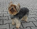 Blue and Tan Yorkshire Terrier.jpg