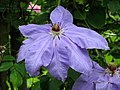 Blue clematis flower - geograph.org.uk - 878992.jpg
