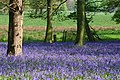 Bluebells in Thompsons Wood - geograph.org.uk - 568863.jpg
