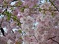 Blumen in Weidenau Siegen - panoramio (1).jpg