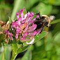 Bombus terrestris - Trifolium medium - Keila.jpg