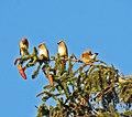 Bombycilla cedrorum (cedar waxwings) 3.jpg