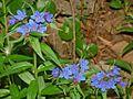 Boraginaceae - Buglossoides purpurocaerulea-2.JPG