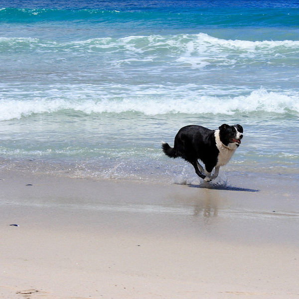 File:Border collie running down the beach at low tide.jpg