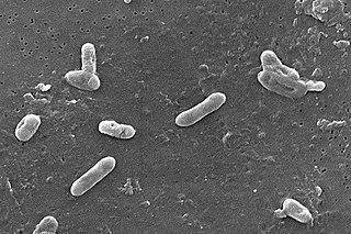<i>Bordetella bronchiseptica</i> species of bacterium