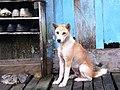 Borneo dog.jpg