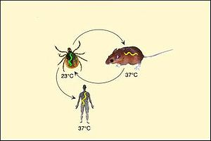 Borrelia cycle