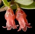 Brachyloma preissii - Flickr - Kevin Thiele.jpg