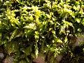 Brachythecium rutabulum 110399472.jpg
