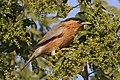 Brahminy starling (Sturnia pagodarum) sub-adult.jpg