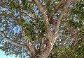 Branques de ficus al carrer de sant Rafael, Xàbia.jpg