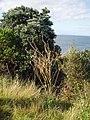 Brassica rapa sylvestris L. (AM AK299044-4).jpg