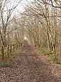 Bridleway through coppiced hornbeams, Copse Wood, Ruislip - geograph.org.uk - 111169.jpg