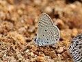 Bright babul blue IMG 3449.jpg