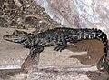 Bristol.zoo.westafrican.dwarf.croc.arp.jpg