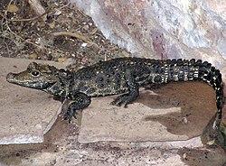 definition of crocodilia