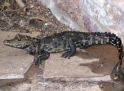 Krokodýl čelnatý v ZOO Bristol.