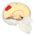 Brodmann area7 - medial view.png