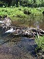 Broken beaver dam on Blackwood Creek June 2014.jpg